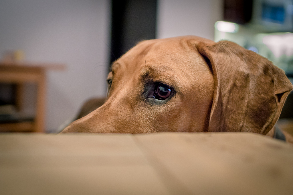Rhodesian Ridgeback, blog, chicago, cute, puppy