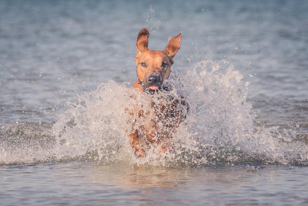 Rhodesian Ridgeback, blog, montrose dog beach, chicago, puppy, adventure