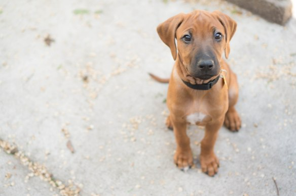 Rhodesian Ridgeback, puppy, blog, adventure