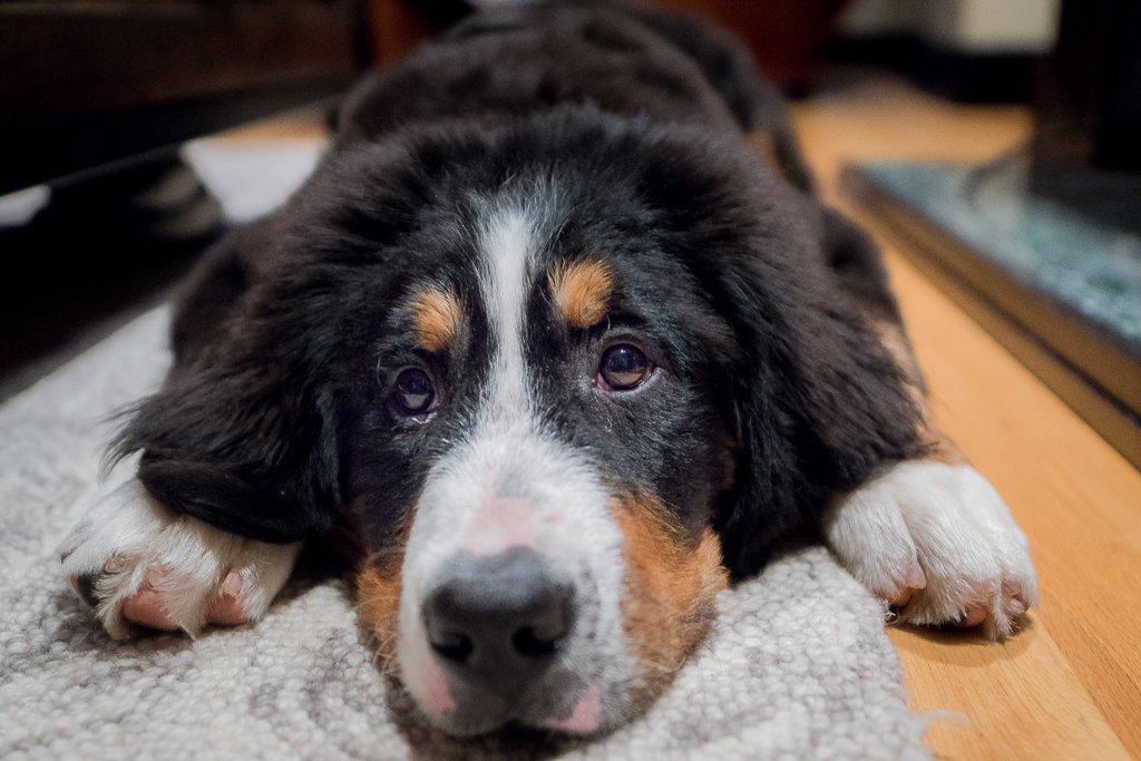 Bernese Mountain Dog, puppy, blog, cute