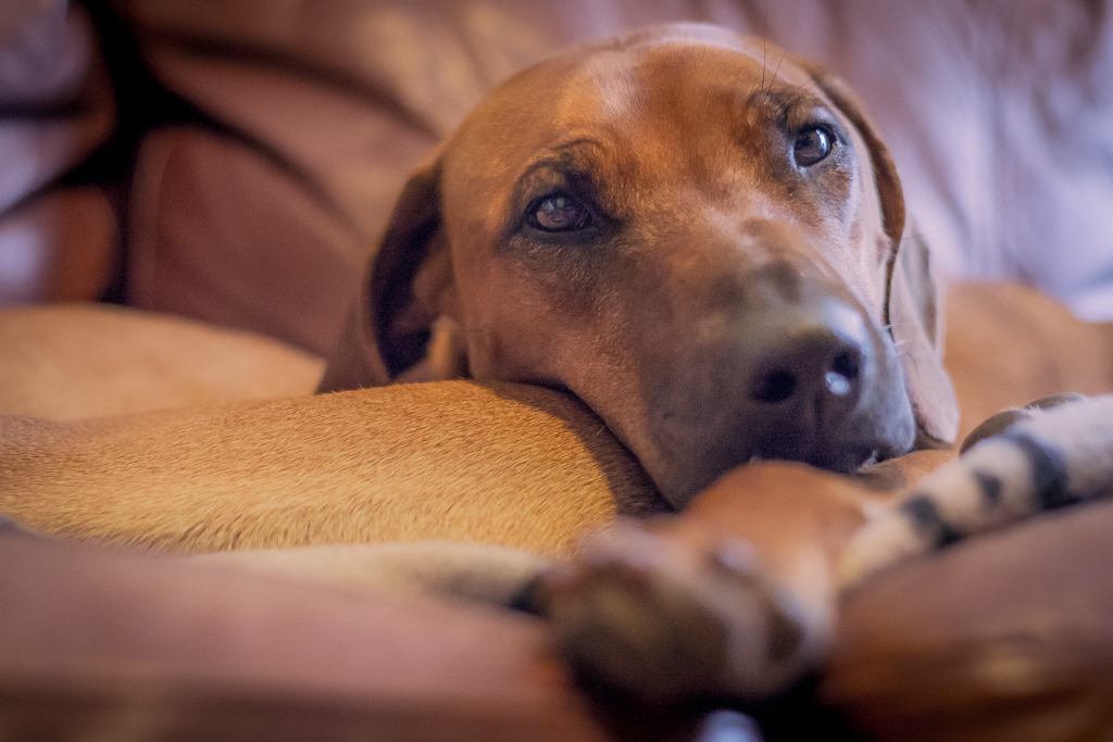 Rhodesian Ridgeback, blog, chicago, adventure, marking our territory