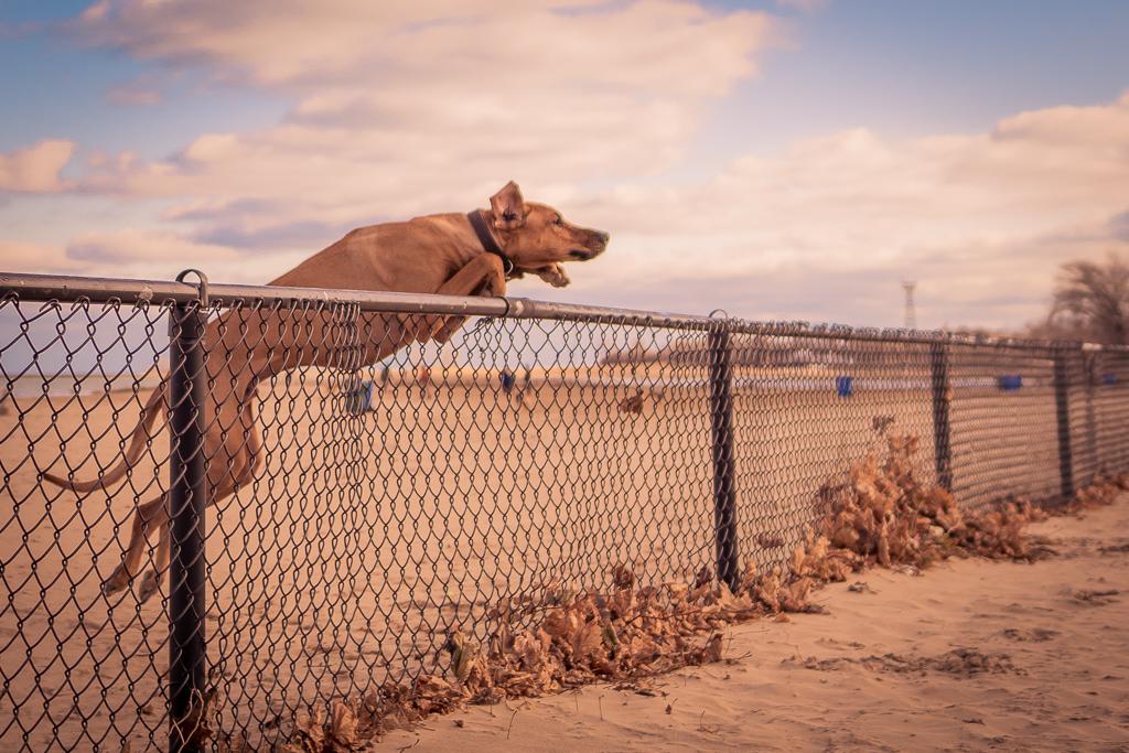 Rhodesian Ridgeback, blog, chicago, puppy, adventure