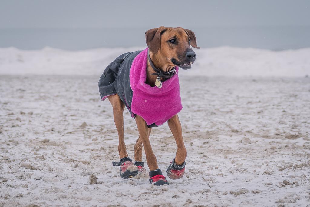 Rhodesian Ridgeback, blog, dog boots, cute, chicago, adventure