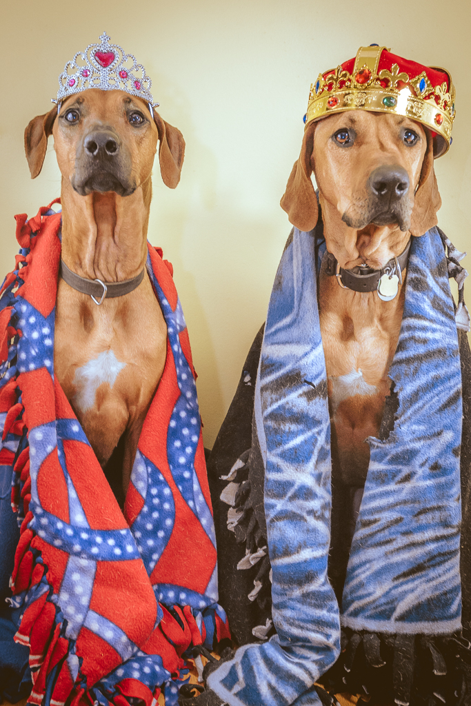 Rhodesian Ridgeback, blog, cute, adventure, chicago, puppy