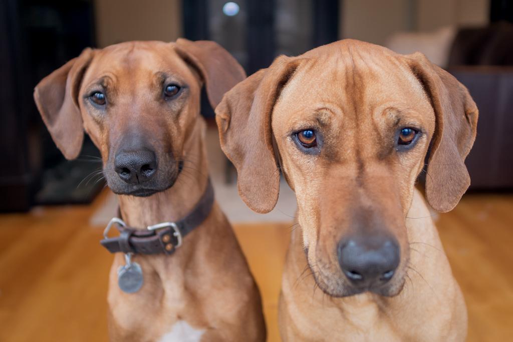 Rhodesian Ridgeback, puppy, cute, chicago, blog