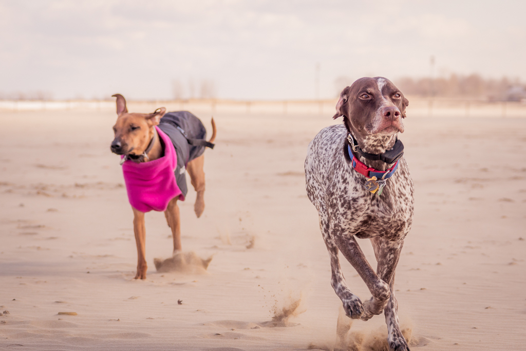 Montrose Dog Beach, German Shorthaired Pointer, Chicago, blog