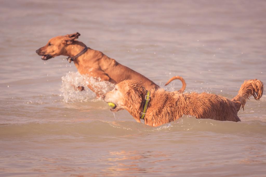 Rhodesian Ridgeback, Chicago, puppy, montrose dog beach, blog