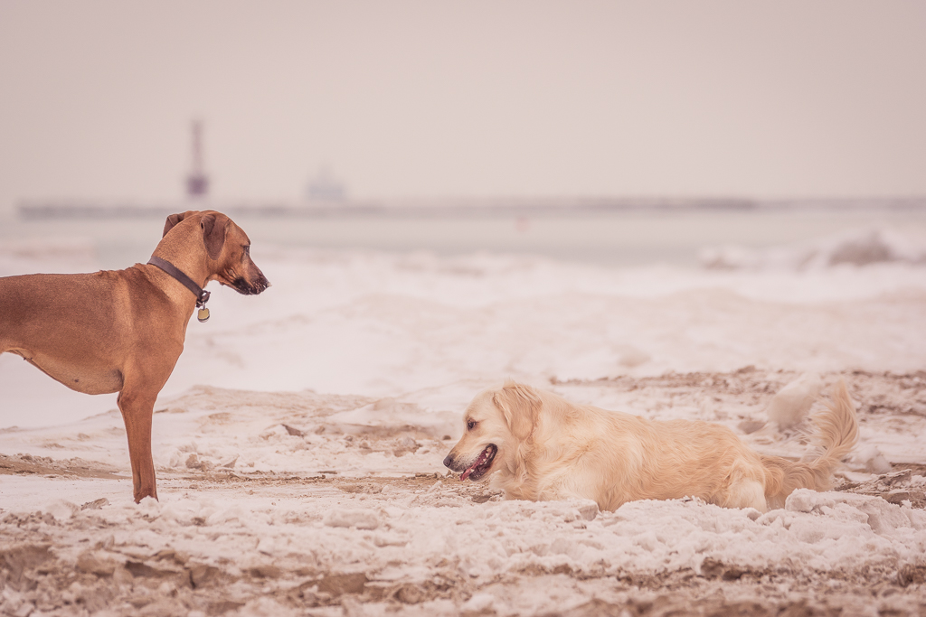 Rhodesian Ridgeback, chicago, blog, montrose dog beach, adventure