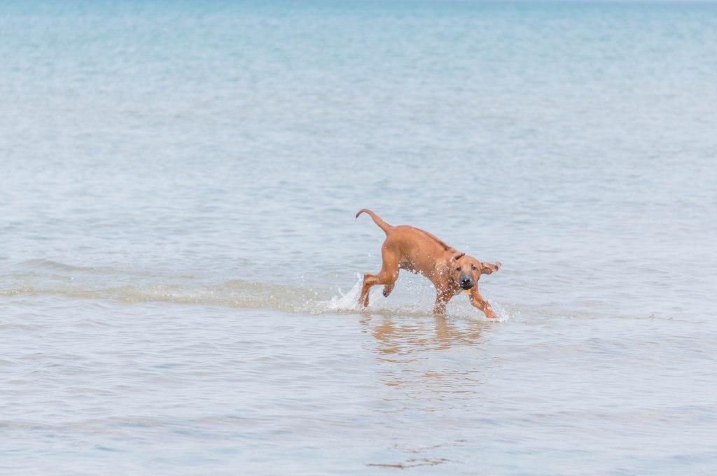 rhodesian ridgeback, blog, chicago, montrose dog beach