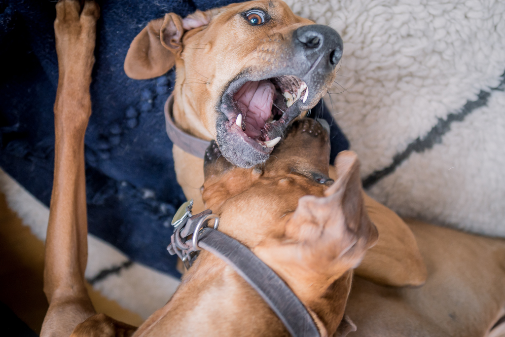Rhodesian Ridgeback, blog, chicago, adventure, puppy