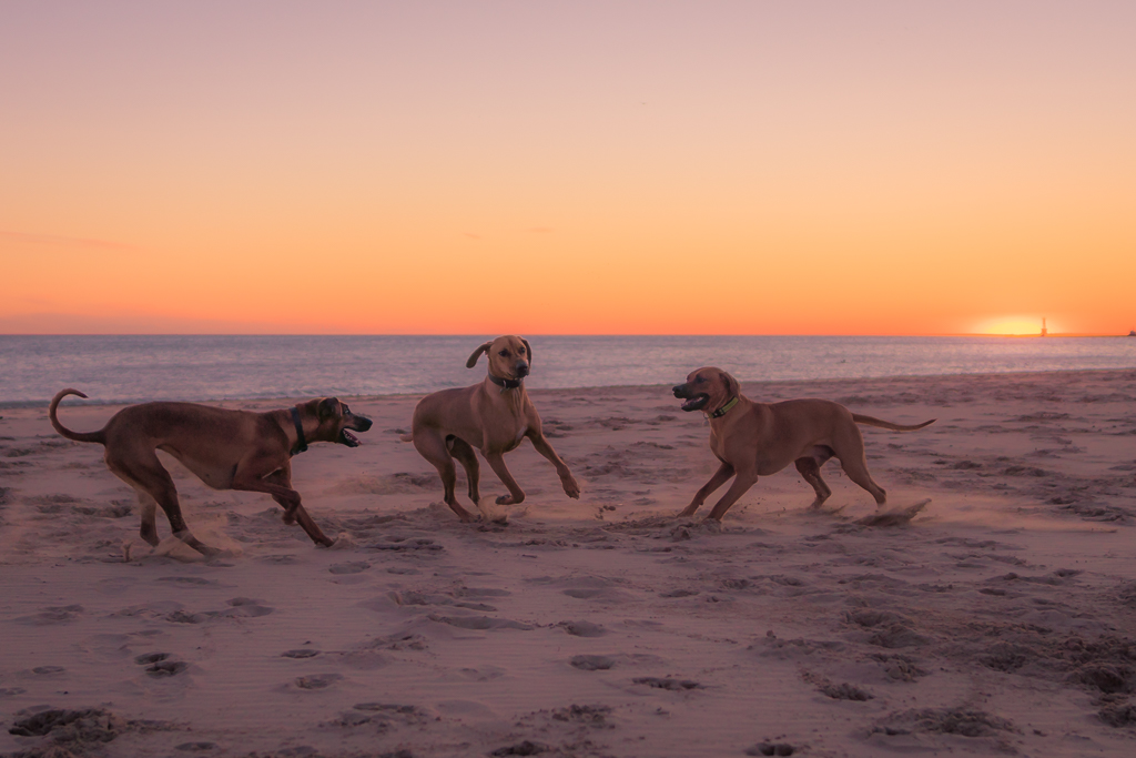 Montrose Dog beach, chicago, sunrise, rhodesian ridgeback