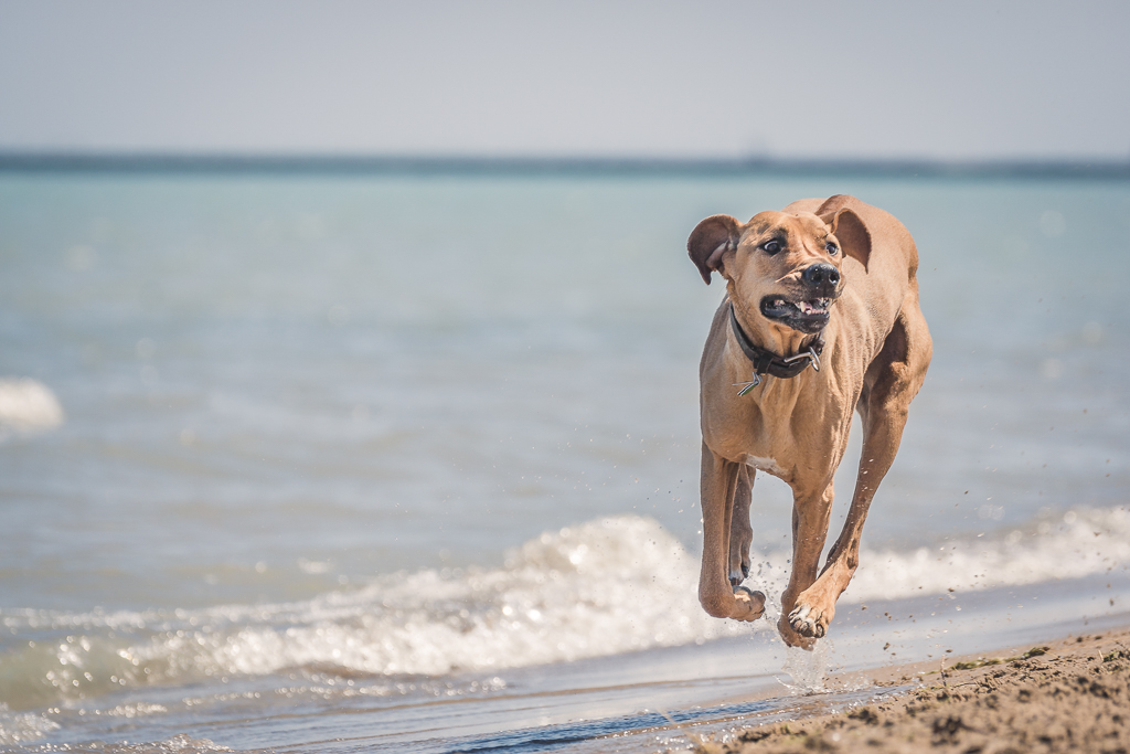 rhodesian ridgeback, blog, chicago, adventure, puppy