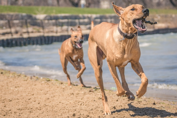Rhodesian Ridgeback, blog, montrose dog beach, chicago, adventure