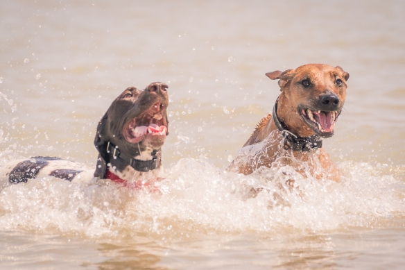 Montrose dog beach, chicago, adventure, pointer, ridgeback