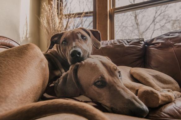Rhodesian RIdgeback, blog, chicago, adventure