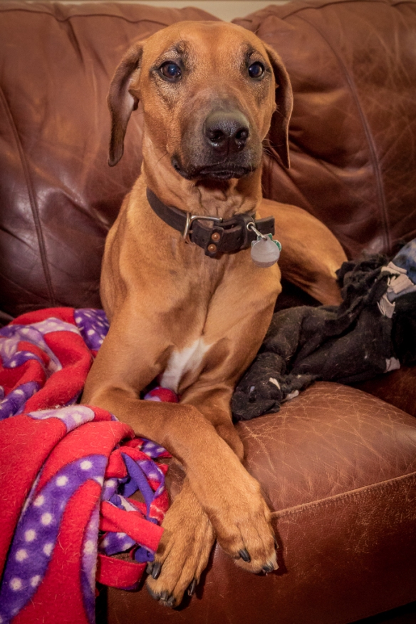 Rhodesian Ridgeback, chicago, blog, adventure, puppy