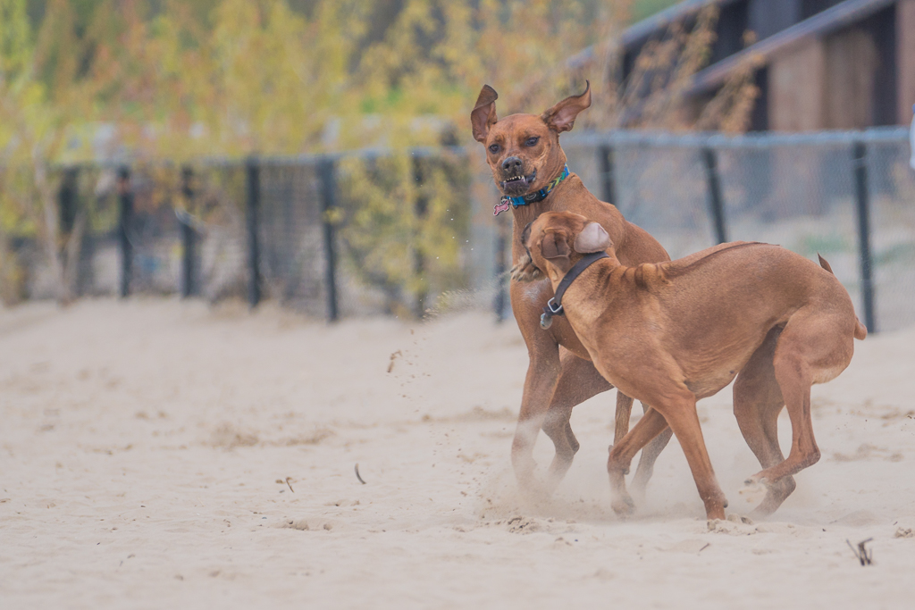 Montrose Dog Beach, Chicago, dog-friendly beach, rhodesian ridgeback, marking our territory, adventure