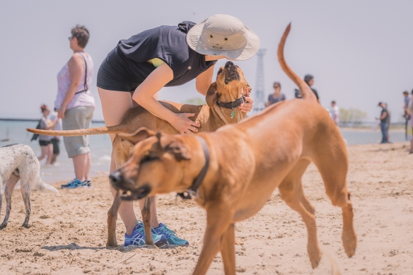 Rhodesian Ridgeback, Chicago, puppy, adventure, dogs, blog