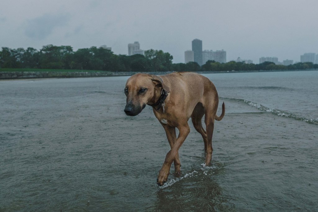 Rhodesian Ridgeback, Chicago, Marking Our Territory
