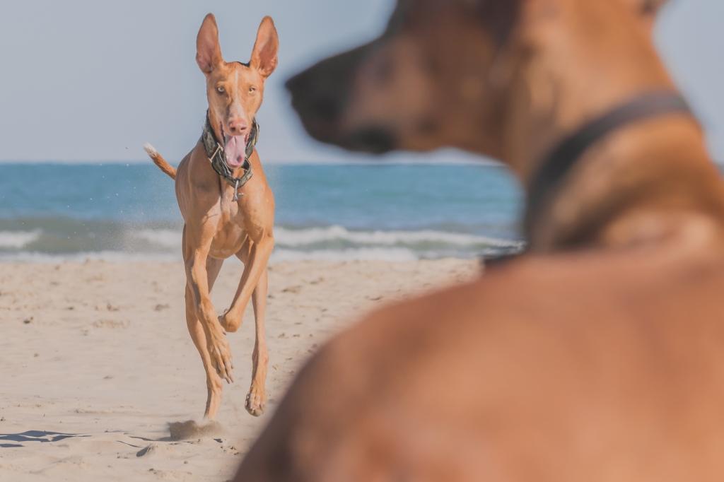 Rhodesian Ridgeback, Chicago, Montrose Dog Beach, Adventure, Marking Our Territory