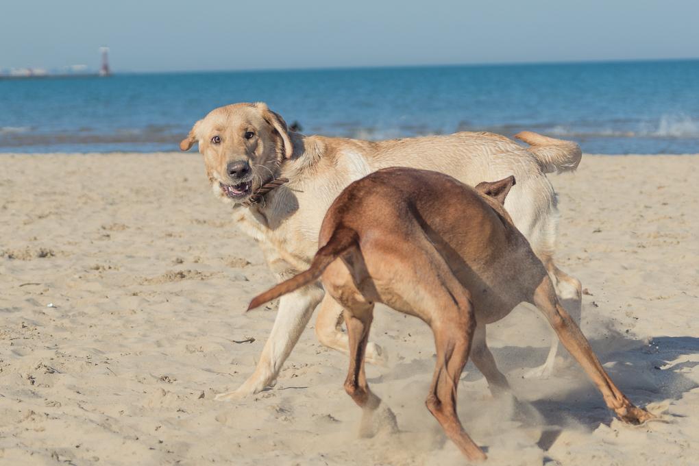 Montrose Dog Beach, Chicago, Rhodesian Ridgeback, Yellow Lab