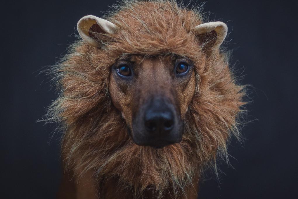 Rhodesian Ridgeback, lion king, marking our territory