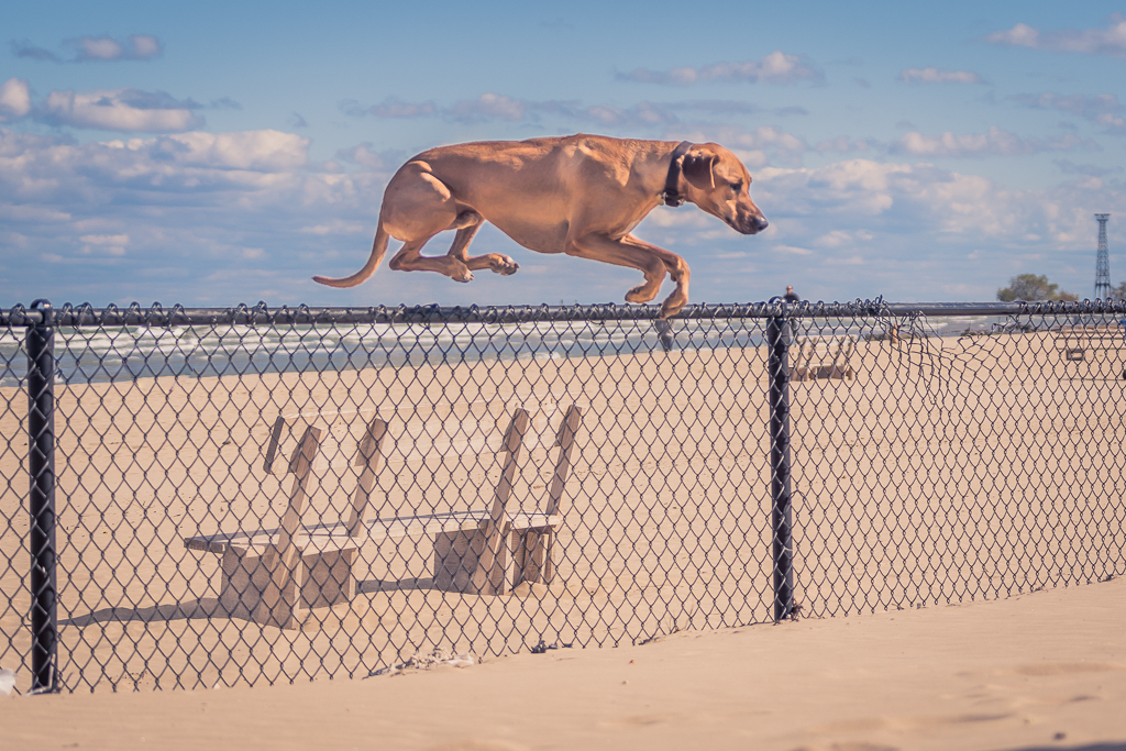 Rhodesian Ridgeback, Montrose Dog Beach, Chicago, Adventure, Marking Our Territory