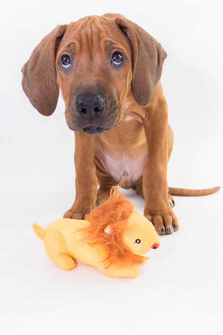 Rhodesian Ridgeback, puppy, chicago, lion, zero, marking our territory