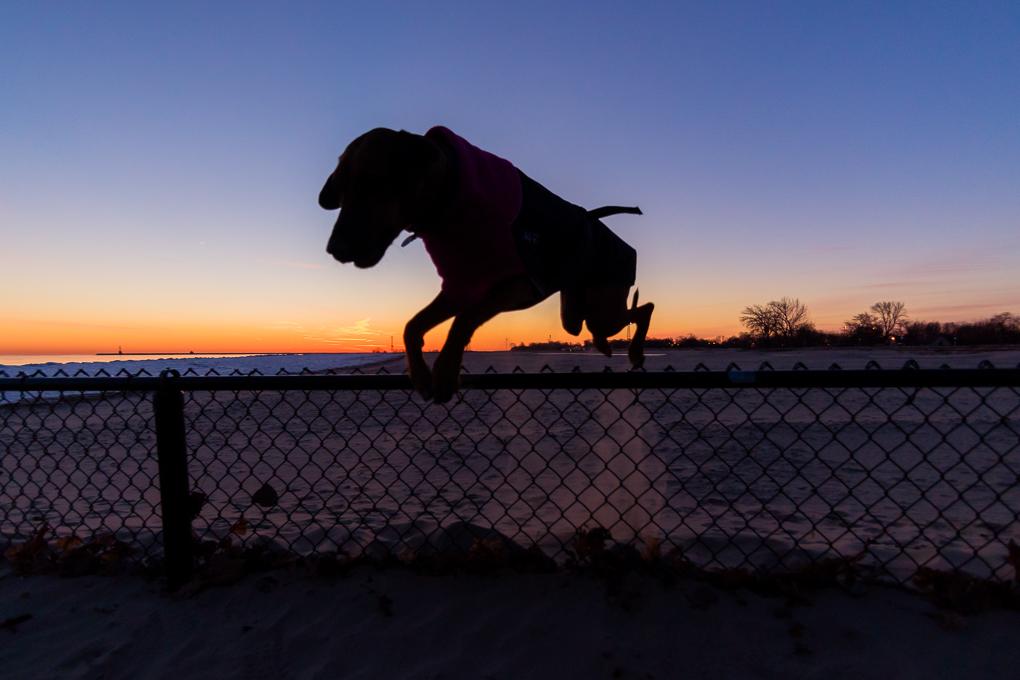 Rhodesian Ridgeback, Montrose Dog Beach, Chicago, Sun rise