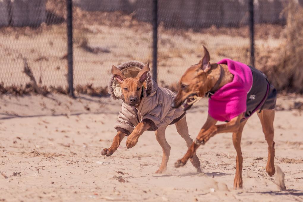 Rhodesian RIdgeback, Puppy, montrose dog beach, chicago, marking our territory, zero