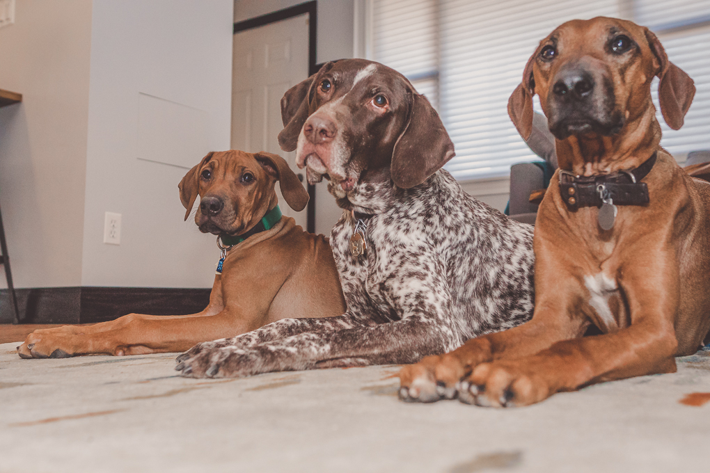 Rhodesian Ridgeback, German Shorthaired Pointer, Marking Our Territory, Chicago
