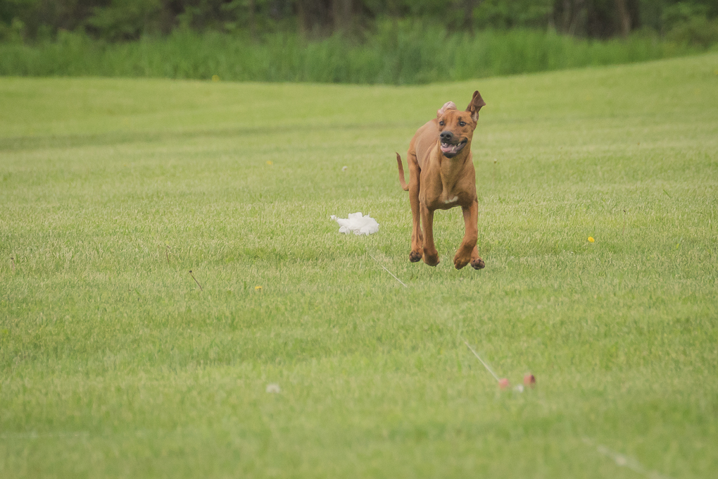 Rhodesian Ridgeback, Lure Coursing, Marking Our Territory
